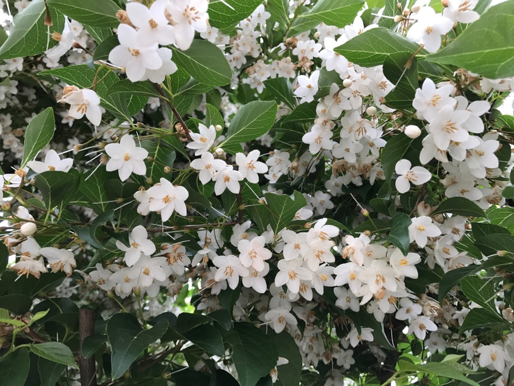 Perfect small tree for a home garden exquisite white flowers of styrax japonicus mightylinksfo