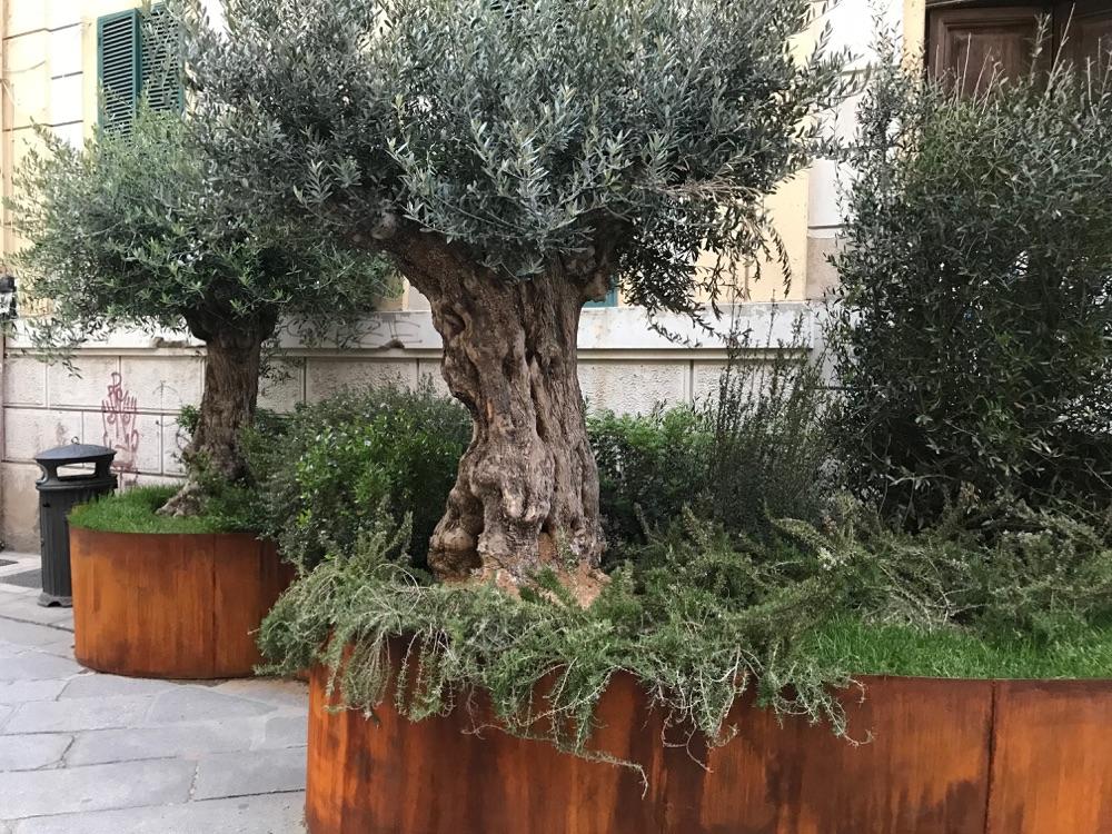 Old Olive Trees In Corten Steel